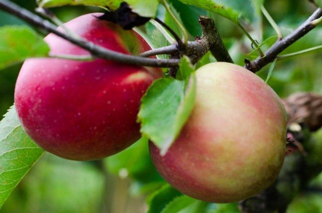 Apple Picking '14 (2 of 31)