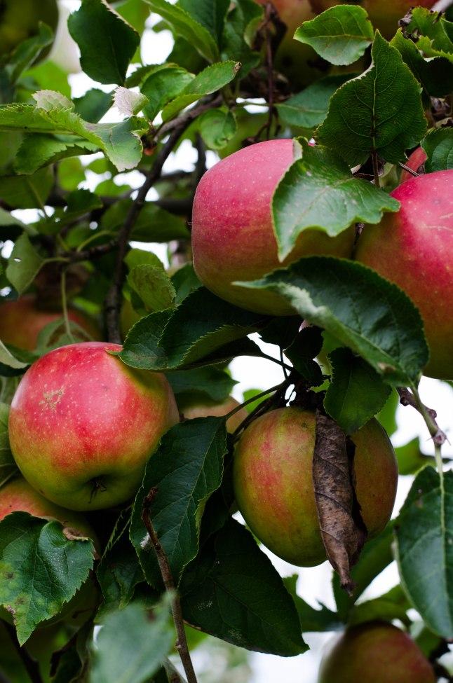 Apple Picking '14 (5 of 31)